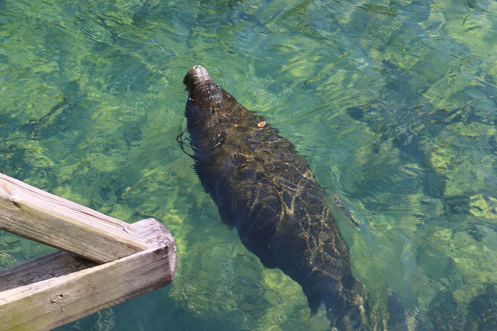 Seekuh Homosassa Springs