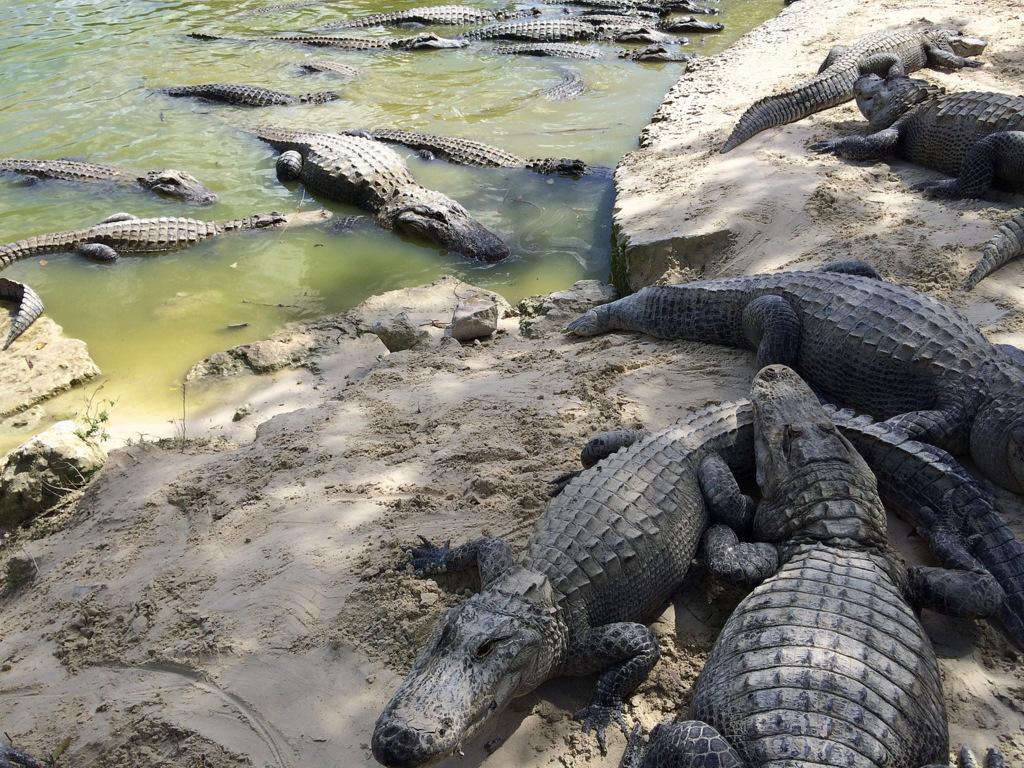Alligatoren im Alligator Park Everglades