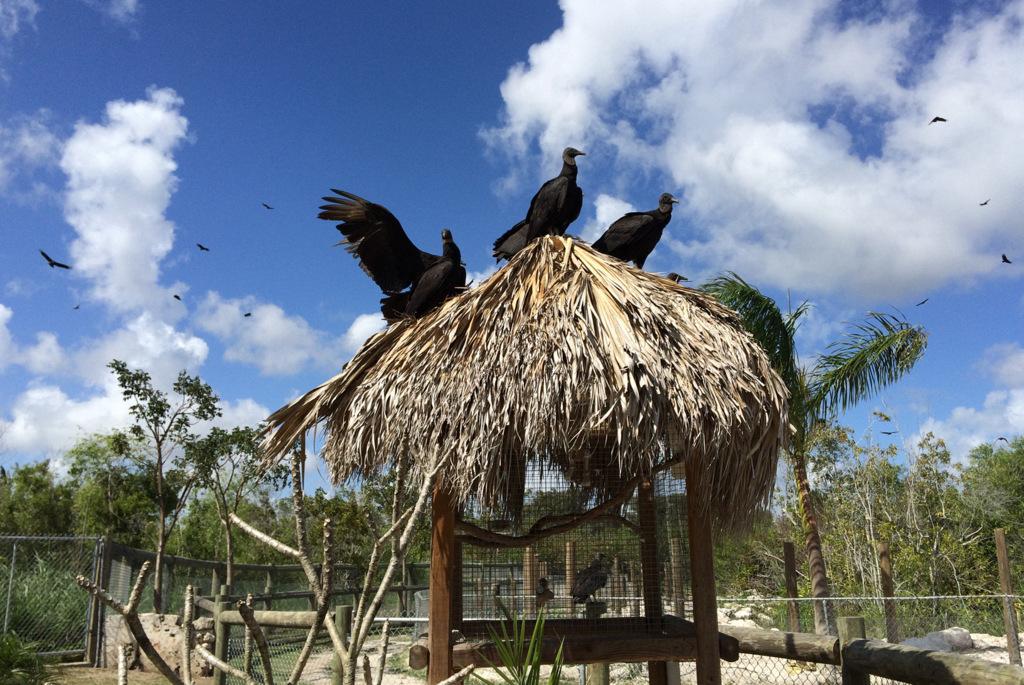 Komische Vögel, die aussahen wie Geier. Vielleicht warten Sie auf das, was die Alligatoren von deutschen Touristen übrig lassen.