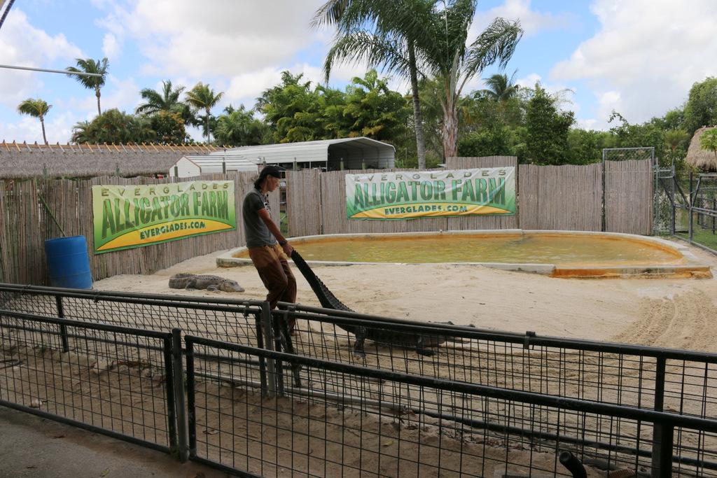 Bei der Show der Alligator Farm werden die Alligatoren am Schwanz aus dem Wasser gezogen. Ich finde das nicht artgerecht.
