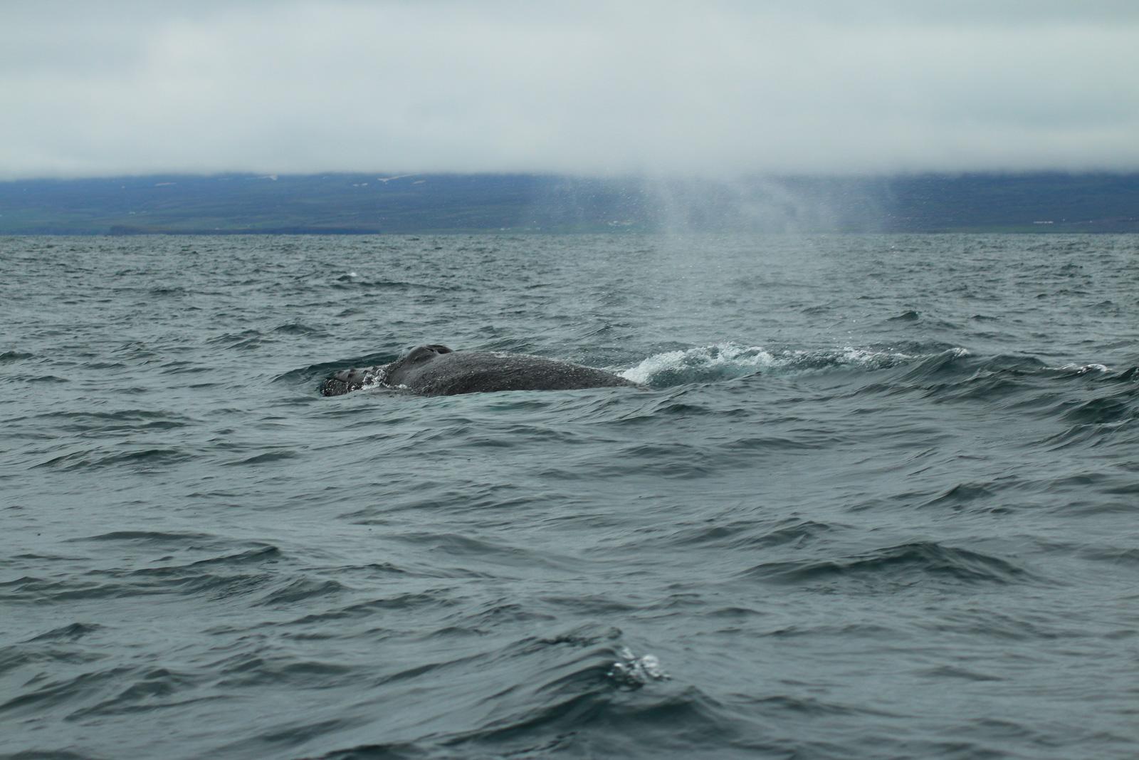 Hier ist auch das Maul des Wals deutlich zu erkennen.
