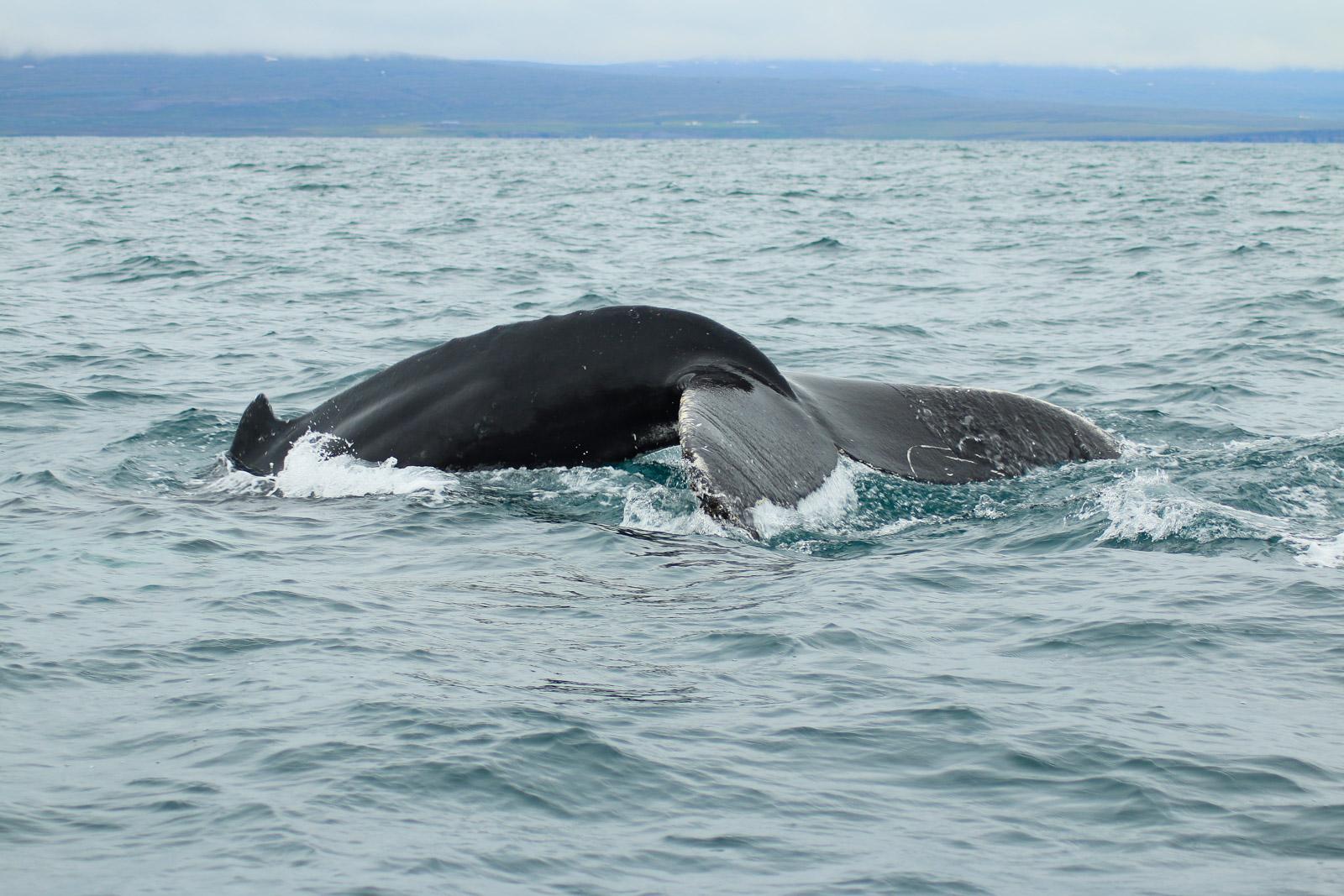 Der Buckelwal kurz vor dem Abtauchen. Die Tiere bleiben meist 5 Minuten unter Wasser. Pottwale sogar bis zu einer Stunde.