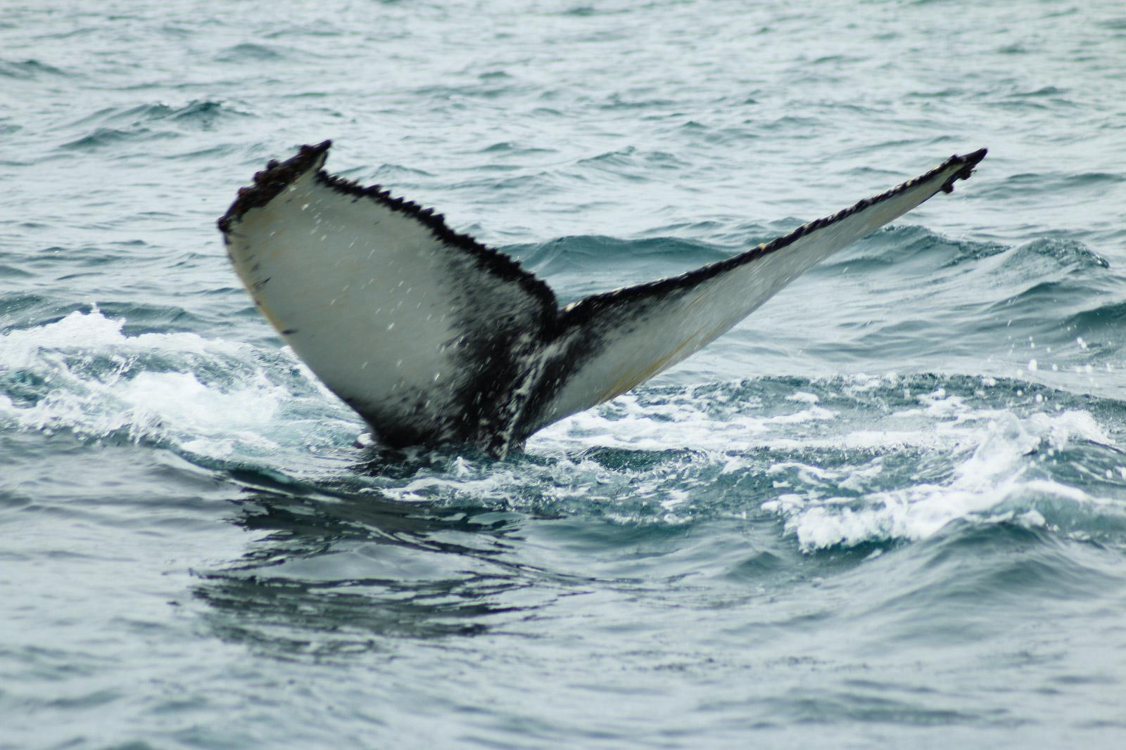 Die Fluke des Buckelwals zeichnet jedes Tier aus. Anhand ihrer kann man die Tiere einzeln identifizieren.