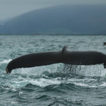 Whale Watching Husavik: Wellen-Rodeo mit Ah-Moment