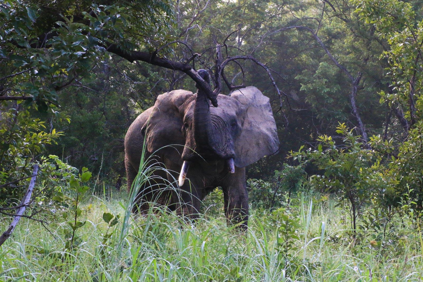 Ein Elefant beim Fressen im Mole National Park.